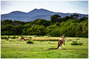 kangaroo in wilsons promontory national park victoria