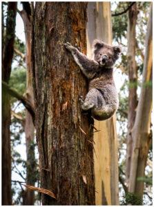 Koala climing a tree in australian forest