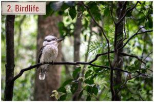 kookaburra bird sitting on branch in queensland australia